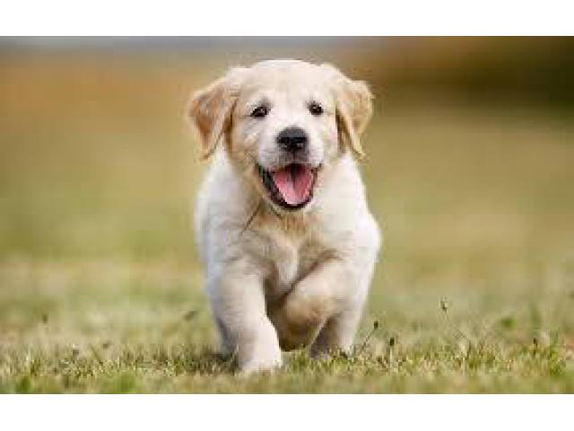 Golden retriever puppies are available call or WhatsApp 8778840641