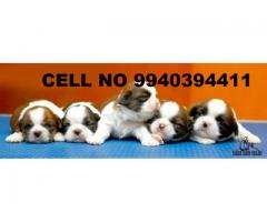 shih tzu puppies for sale in chennai 9940394411