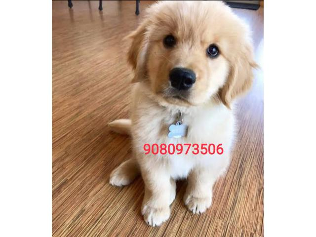 Golden retriver puppies 9080973506@Resonable price