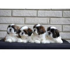 Shihtzu puppies are available call or WhatsApp 8778840641