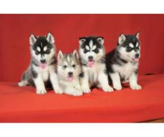 Siberian Husky puppies are available call or WhatsApp 9911293906