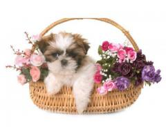 Shihtzu puppies available