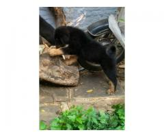 TM Gaddi puppy for sale