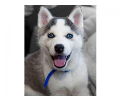 Orginal quality Serbian Husk puppies with blue eyes are available