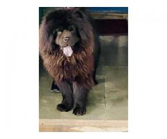 Black Chow Chow 1.5 Years old