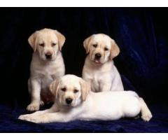Labrador Puppies Available Here Ready Now Aryan Pets Shop