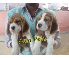 Beagle Best Quality Puppies Available Here Ready Now Aryan Pets Shop